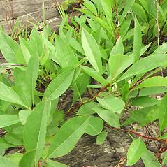Plant form: Prunus pumila. ~ By Glen Mittelhauser. ~ Copyright © 2019 Glen Mittelhauser. ~ www.mainenaturalhistory.org