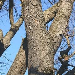 Bark: Prunus serotina. ~ By Arieh Tal. ~ Copyright © 2019 Arieh Tal. ~ www.nttlphoto.com ~ Arieh Tal - www.nttlphoto.com