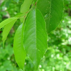 Leaves: Prunus serotina. ~ By Arthur Haines. ~ Copyright © 2020. ~ arthurhaines[at]wildblue.net