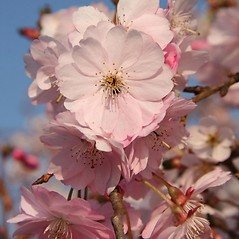 Flowers: Prunus serrulata. ~ By Robert Vid_ki. ~ Copyright © 2021 CC BY-NC 3.0. ~  ~ Bugwood - www.bugwood.org/