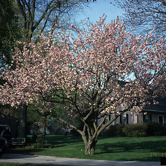 Plant form: Prunus serrulata. ~ By Richard Webb. ~ Copyright © 2021 CC BY-NC 3.0. ~  ~ Bugwood - www.bugwood.org/