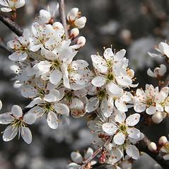 Flowers: Prunus spinosa. ~ By Robert Vid_ki. ~ Copyright © 2020 CC BY-NC 3.0. ~  ~ Bugwood - www.bugwood.org/