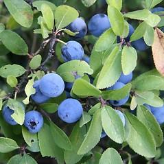 Fruits: Prunus spinosa. ~ By Robert Vid_ki. ~ Copyright © 2020 CC BY-NC 3.0. ~  ~ Bugwood - www.bugwood.org/