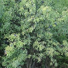 Plant form: Prunus spinosa. ~ By Robert Vid_ki. ~ Copyright © 2020 CC BY-NC 3.0. ~  ~ Bugwood - www.bugwood.org/