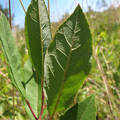 Leaves: Prunus susquehanae. ~ By Marilee Lovit. ~ Copyright © 2020 Marilee Lovit. ~ lovitm[at]gmail.com