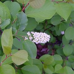 Flowers: Prunus virginiana. ~ By Arthur Haines. ~ Copyright © 2021. ~ arthurhaines[at]wildblue.net