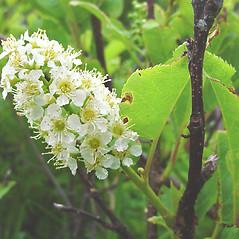 Flowers: Prunus virginiana. ~ By Glen Mittelhauser. ~ Copyright © 2021 Glen Mittelhauser. ~ www.mainenaturalhistory.org