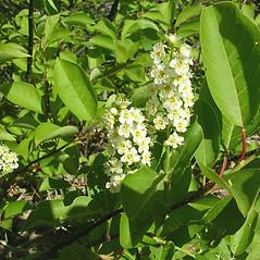 Flowers: Prunus virginiana. ~ By Karen Searcy. ~ Copyright © 2021 Karen Searcy. ~ ksearcy[at]bio.umass.edu