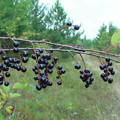 Fruits: Prunus virginiana. ~ By Arthur Haines. ~ Copyright © 2020. ~ arthurhaines[at]wildblue.net