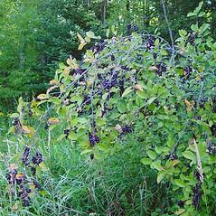 Plant form: Prunus virginiana. ~ By Arthur Haines. ~ Copyright © 2021. ~ arthurhaines[at]wildblue.net