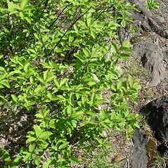 Plant form: Prunus virginiana. ~ By Karen Searcy. ~ Copyright © 2021 Karen Searcy. ~ ksearcy[at]bio.umass.edu