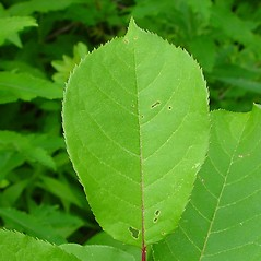 Leaves: Prunus virginiana. ~ By Arthur Haines. ~ Copyright © 2020. ~ arthurhaines[at]wildblue.net