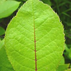 Leaves: Prunus virginiana. ~ By Glen Mittelhauser. ~ Copyright © 2021 Glen Mittelhauser. ~ www.mainenaturalhistory.org