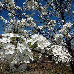 Flowers: Pyrus calleryana. ~ By David G. Smith. ~ Copyright © 2020. ~ dgsmith3[at]gmail.com ~ Delaware Wildflowers - delawarewildflowers.org/