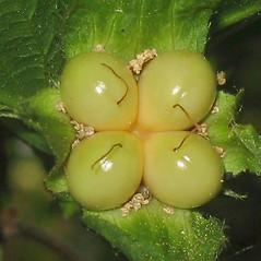 Fruits: Rhodotypos scandens. ~ By Alexey Zinovjev. ~ Copyright © 2021. ~ webmaster[at]salicicola.com ~ Salicicola - www.salicicola.com/