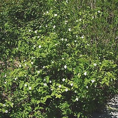 Plant form: Rhodotypos scandens. ~ By Paul S. Drobot. ~ Copyright © 2021 Paul S. Drobot. ~ www.plantstogrow.com, www.plantstockphotos.com ~ Robert W. Freckmann Herbarium, U. of Wisconsin-Stevens Point