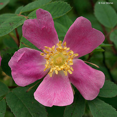 Flowers: Rosa acicularis. ~ By Keir Morse. ~ Copyright © 2021 Keir Morse. ~ www.keiriosity.com ~ www.keiriosity.com