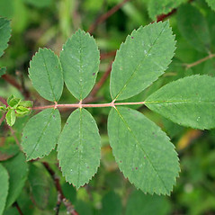 Leaves: Rosa acicularis. ~ By Keir Morse. ~ Copyright © 2021 Keir Morse. ~ www.keiriosity.com ~ www.keiriosity.com