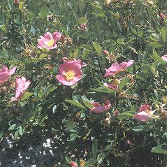Plant form: Rosa carolina. ~ By Samuel Hoar. ~ Copyright © 2021 New England Wild Flower Society. ~ Image Request, images[at]newenglandwild.org