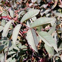 Leaves: Rosa glauca. ~ By Charles Brun. ~ Copyright © 2020. ~ brunc[at]wsu.edu ~ Pacific Northwest Plants - www.pnwplants.wsu.edu/