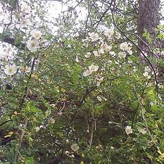 Plant form: Rosa luciae. ~ By Bjarne Dinesen. ~ Copyright © 2020 Bjarne Dinesen. ~ bjarne[at]asperupgaard.dk ~ Asperupgaard Garden and Gallery, asperupgaard.dk