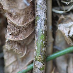 Bark: Rosa multiflora. ~ By Steven Baskauf. ~ Copyright © 2020 CC-BY-NC-SA. ~  ~ Bioimages - www.cas.vanderbilt.edu/bioimages/frame.htm