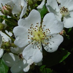 Flowers: Rosa multiflora. ~ By Arthur Haines. ~ Copyright © 2020. ~ arthurhaines[at]wildblue.net