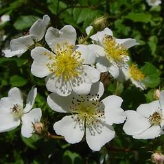 Flowers: Rosa multiflora. ~ By Arthur Haines. ~ Copyright © 2021 Arthur Haines. ~ arthur.d.haines[at]gmail.com
