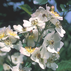 Flowers: Rosa multiflora. ~ By Frank Bramley. ~ Copyright © 2020 New England Wild Flower Society. ~ Image Request, images[at]newenglandwild.org