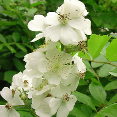 Flowers: Rosa multiflora. ~ By Glen Mittelhauser. ~ Copyright © 2021 Glen Mittelhauser. ~ www.mainenaturalhistory.org