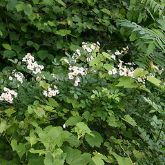 Plant form: Rosa multiflora. ~ By Karen Searcy. ~ Copyright © 2020 Karen Searcy. ~ ksearcy[at]bio.umass.edu