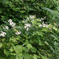 Plant form: Rosa multiflora. ~ By Karen Searcy. ~ Copyright © 2021 Karen Searcy. ~ ksearcy[at]bio.umass.edu