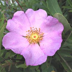 Flowers: Rosa palustris. ~ By Marilee Lovit. ~ Copyright © 2021 Marilee Lovit. ~ lovitm[at]gmail.com