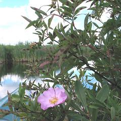 Plant form: Rosa palustris. ~ By Marilee Lovit. ~ Copyright © 2021 Marilee Lovit. ~ lovitm[at]gmail.com