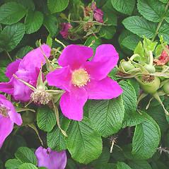 Flowers: Rosa rugosa. ~ By Glen Mittelhauser. ~ Copyright © 2021 Glen Mittelhauser. ~ www.mainenaturalhistory.org