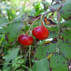 Fruits: Rosa rugosa. ~ By Arthur Haines. ~ Copyright © 2020. ~ arthurhaines[at]wildblue.net