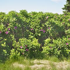 Plant form: Rosa rugosa. ~ By Glen Mittelhauser. ~ Copyright © 2021 Glen Mittelhauser. ~ www.mainenaturalhistory.org