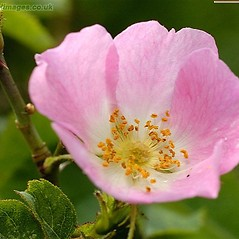 Flowers: Rosa sherardii. ~ By John Crellin. ~ Copyright © 2021 © J.R. Crellin. ~ Floralimages www.floralimages.co.uk ~ Floral Images - www.floralimages.co.uk