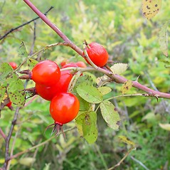 Fruits: Rosa sherardii. ~ By Arthur Haines. ~ Copyright © 2021. ~ arthurhaines[at]wildblue.net