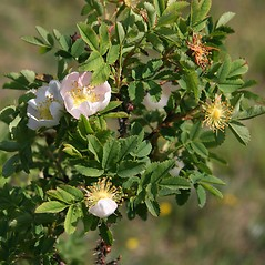 Flowers: Rosa spinosissima. ~ By Robert Vid_ki. ~ Copyright © 2020 CC BY-NC 3.0. ~  ~ Bugwood - www.bugwood.org/