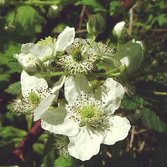 Flowers: Rubus allegheniensis. ~ By Glen Mittelhauser. ~ Copyright © 2020 Glen Mittelhauser. ~ www.mainenaturalhistory.org