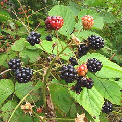 Fruits: Rubus allegheniensis. ~ By Donna Kausen. ~ Copyright © 2021 Donna Kausen. ~ 33 Bears Den, Addison, ME 04606