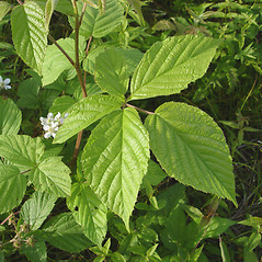 Leaves: Rubus allegheniensis. ~ By Donald Cameron. ~ Copyright © 2020 Donald Cameron. ~ No permission needed for non-commercial uses, with proper credit