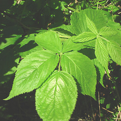 Leaves: Rubus allegheniensis. ~ By Glen Mittelhauser. ~ Copyright © 2020 Glen Mittelhauser. ~ www.mainenaturalhistory.org