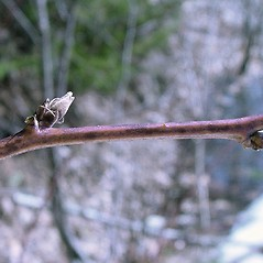 Winter buds: Rubus allegheniensis. ~ By Arthur Haines. ~ Copyright © 2020. ~ arthurhaines[at]wildblue.net
