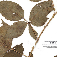 Bark: Rubus arenicola. ~ By CONN Herbarium. ~ Copyright © 2021 CONN Herbarium. ~ Requests for image use not currently accepted by copyright holder ~ U. of Connecticut Herbarium - bgbaseserver.eeb.uconn.edu/