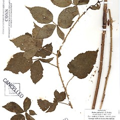Plant form: Rubus arenicola. ~ By CONN Herbarium. ~ Copyright © 2020 CONN Herbarium. ~ Requests for image use not currently accepted by copyright holder ~ U. of Connecticut Herbarium - bgbaseserver.eeb.uconn.edu/