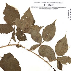 Leaves: Rubus arenicola. ~ By CONN Herbarium. ~ Copyright © 2021 CONN Herbarium. ~ Requests for image use not currently accepted by copyright holder ~ U. of Connecticut Herbarium - bgbaseserver.eeb.uconn.edu/