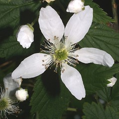 Flowers: Rubus argutus. ~ By Steven Baskauf. ~ Copyright © 2020 CC-BY-NC-SA. ~  ~ Bioimages - www.cas.vanderbilt.edu/bioimages/frame.htm