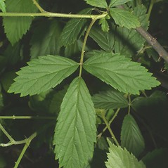 Leaves: Rubus argutus. ~ By Steven Baskauf. ~ Copyright © 2020 CC-BY-NC-SA. ~  ~ Bioimages - www.cas.vanderbilt.edu/bioimages/frame.htm